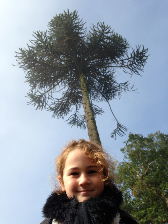 Monkey Puzzle tree,Bradgate Park